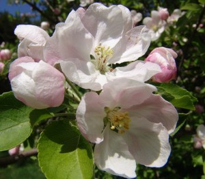 Crab_Apple_flores_de_Bach_Pamplona