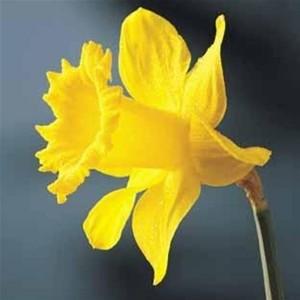 Daffodil_Eneatipo_VII