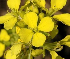Mustard_flores_de_Bach_Pamplona