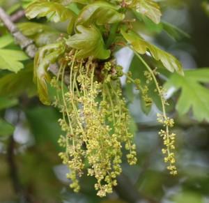 Oak_flores_de_Bach_Pamplona
