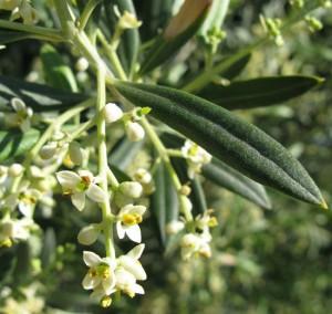 Olive_flores_de_Bach_Pamplona