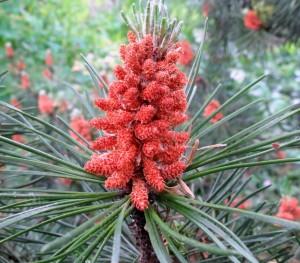 Pine_flores_de_Bach_Pamplona