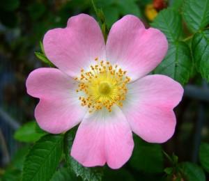 Wild_Rose_flores_de_Bach_Pamplona