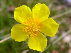 rock_rose_eneatipo_V