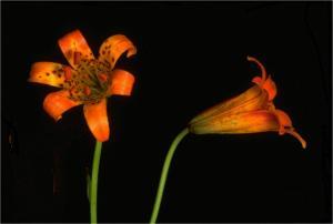 Alpine-Lily