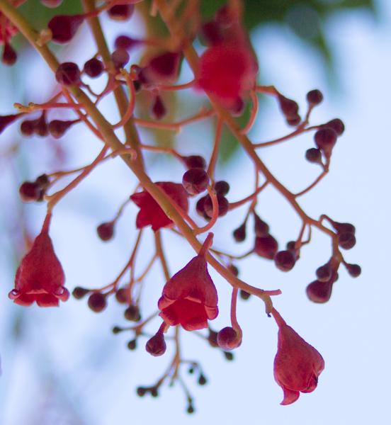 Illawara-Flame-Tree