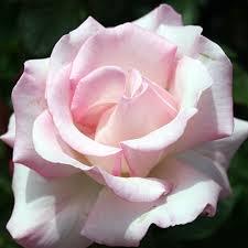 rosa-grandiflora-queen-elizabeth