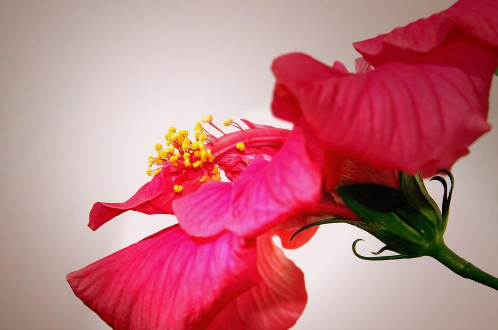 sensualidad_hibiscus