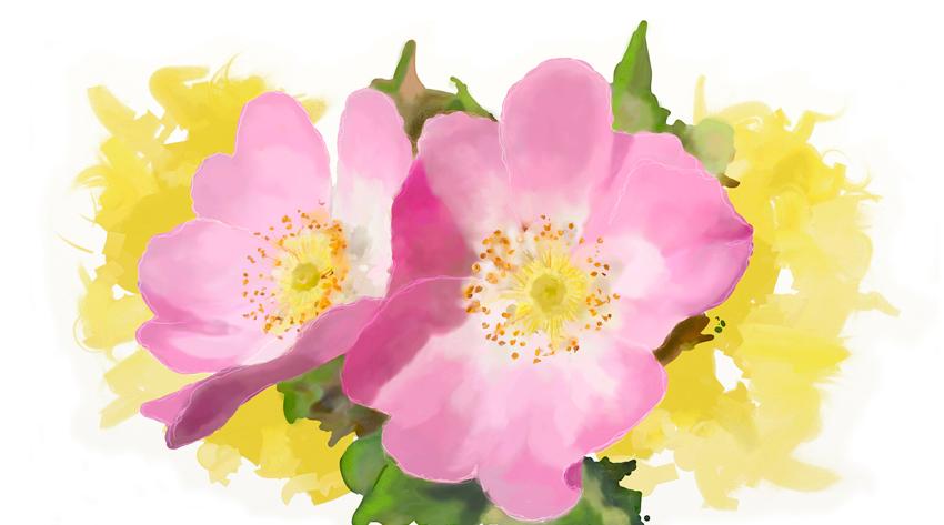 Wild_Rose_canina